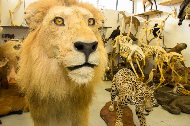 MUSEO DE TAXIDERMIA CON 120 ANIMALES